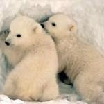 Остров Врангеля — роддом белых медведей